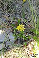 Zakynthos flora (35299310441).jpg