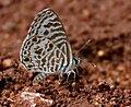 Zebra Blue (Leptotes plinius) mud-puddling W IMG 9365.jpg
