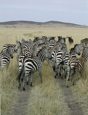 Zebra and wildebeest migration Masai Mara, Sep...