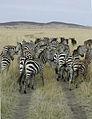 Zebras and Masai Mara.jpg
