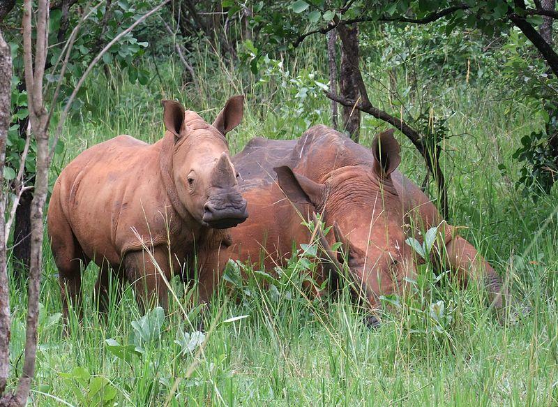 File:Ziwa rhinos.jpg