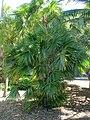 Zombia antillarum - Marie Selby Botanical Gardens - Sarasota, Florida - DSC01432.jpg