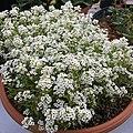 'Giga White' alyssum IMG 5059.jpg