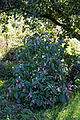 'Impatiens balsamina' garden balsam at Feeringbury Manor, Feering Essex England.jpg