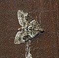 (1769) Spruce Carpet (Thera britannica) (37800341122).jpg