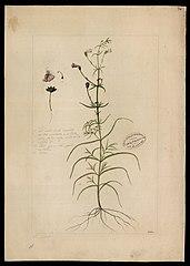 (Gerardia hispida, Mart)