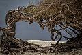 Árvore da Preguiça, Jericoacoara.jpg