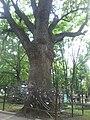 Багаторічний дуб у Харкові у саду ім. Шевченка.jpg
