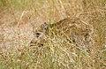 Кабан - Sus scrofa - Wild boar - Дива свиня - Wildschwein (35916377886).jpg