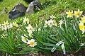 Нарциси у ботанічному саду Хмельницького національного університету.jpg