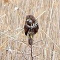 Обыкновенный канюк - Buteo buteo - Common buzzard - Обикновен мишелов - Mäusebussard (31634582524).jpg