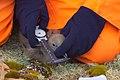 Орнитолог исследует птенца поморника IMG 4729.JPG