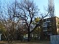 Старый дуб - panoramio (2).jpg