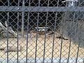Тигрица с тигрятами 3 (Penza Zoo 2016).jpg