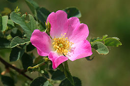 Пуповник цветок