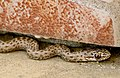 Ящеричная змея - Malpolon insignitus - Eastern Montpellier Snake - Вдлъбнаточел смок - Östliche Eidechsennatter - (Spanish) Culebra bastarda oriental (29310124892).jpg