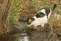 חתול רחוב שותה.JPG