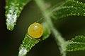 கறிவேப்பிலை வண்ணத்துப்பூச்சியின் முட்டை - Egg of Common mormon butterfly.jpg