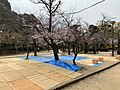 お花見 (46762723974).jpg