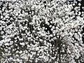 コブシの花(ユニトピアささやま)梶ゆきみ4086413.jpg