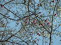 モクレン(木蓮-木蘭)(Magnolia quinquepeta-Magnolia liliiflora)-花 (7254298048).jpg