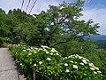 七曲りのあじさい 吉野山にて 2013.6.17 - panoramio (3).jpg