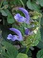 丹参 Salvia miltiorrhiza -台北花博 Taipei Flora Expo- (9200880008).jpg