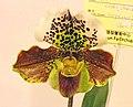 兜蘭屬 Paphiopedilum Winston Churchill x Kerry Anne x (Sharnden x Seacliff) -台南國際蘭展 Taiwan International Orchid Show- (16201717123).jpg