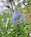 婆婆納屬 Veronica kemulariae -比利時 Leuven Botanical Garden, Belgium- (9200880260).jpg