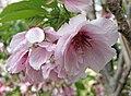松前早咲櫻 Cerasus lannesiana Matsumae-hayazaki -日本京都植物園 Kyoto Botanical Garden, Japan- (26888285977).jpg