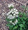 纈草屬 Valeriana phu -比利時 Ghent University Botanical Garden, Belgium- (9227005537).jpg