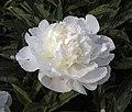 芍藥-仙鶴白 Paeonia lactiflora 'Fairy-Crane White' -瀋陽植物園 Shenyang Botanical Garden, China- (12380586514).jpg