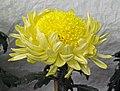 菊花-平桂型 Chrysanthemum morifolium Inner-floret-ribbon-series -香港圓玄學院 Hong Kong Yuen Yuen Institute- (9213340417).jpg
