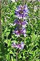 釣鐘柳屬 Penstemon euglaucus -維也納大學植物園 Vienna University Botanical Garden- (28515287115).jpg