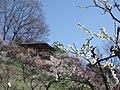 錦織公園にて 梅の里 2013.3.15 - panoramio (1).jpg