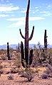 00 5008 Arizona (USA) Sonora-Wüste - Saguaro Kakteen.jpg