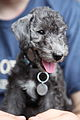 00 Smiling Bedlington Terrier puppy.jpg