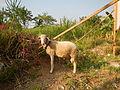 0104jfSan Manuel Sheep San Jose del MonteCityfvf 03.JPG