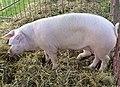 02014 Schweinerasse, Polnisches weiße Zlotniki Schwein.JPG