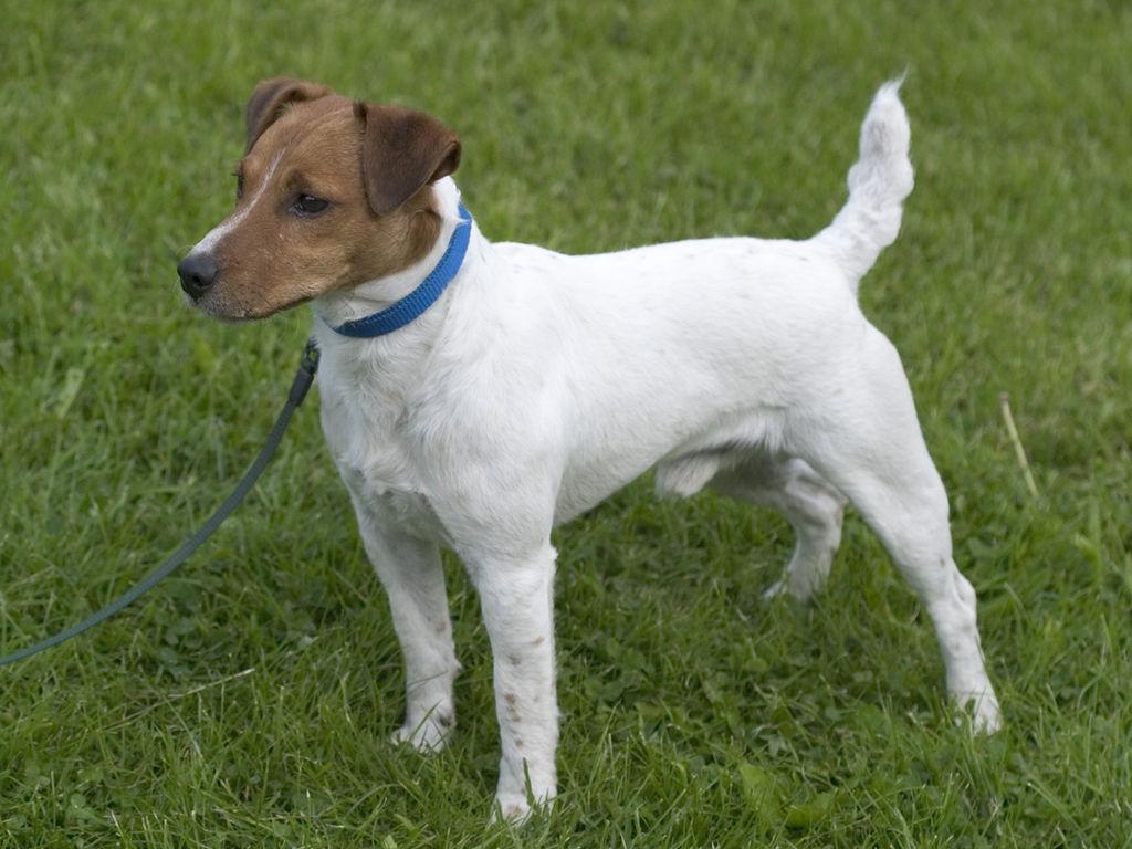 Los perros de raza Parson russell terrier generalmente viven entre 12 y 14 años