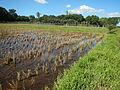 09702jfLandscapes Grasslands Plaridel Road Bonga Menor Bustos Bulacan Villagesfvf 03.JPG