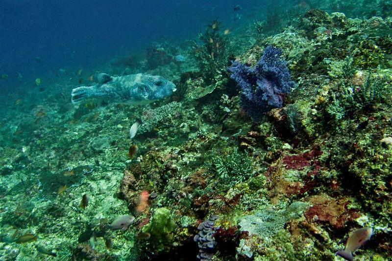 File:20-Indonesia-Bali Nusa-Penida Crystal-Bay 07 (Giant Puffer Fish)-APiazza.JPG