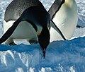 2007 Snow-Hill-Island Luyten-De-Hauwere-Emperor-Penguin-87.jpg
