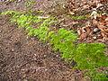 2008 04 06 - Russett - Moss in the nature reserve 1.JPG