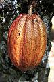 2012-02-Theobroma cacao anagoria 03.JPG