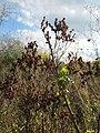 20120922Hypericum perforatum1.jpg