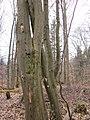 20130331Carpinus betulus2.jpg
