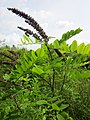 20130702Amorpha fruticosa2.jpg