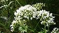 20130722Valeriana officinalis2.jpg