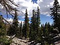 2014-09-15 11 04 10 View up the Bristlecone Trail and the Glacier Trail through Engelmann Spruce forest in Great Basin National Park, Nevada.JPG